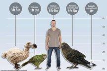 کشف فسیل یک طوطی ۱۹ میلیون ساله با ارتفاع یک متر