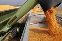 تولید گندم در شهرستان سلطانیه 40 درصد افزایش دارد
