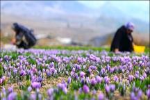 توسعه مزارع زعفران جنوب کرمان در دستور کار قرار گرفت