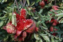 تولید هزار و ۲۱۵ تن انار در گرمی مغان