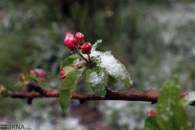 سرمازدگی به ۶ هزار هکتار از باغهای انار استان مرکزی خسارت زد