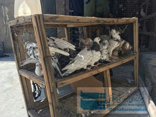 کبوترهای 'موادبَر' به تور پلیس افتادند