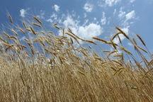 پنج هزار هکتار از زمینهای رشتخوار به کشت گندم اختصاص یافت