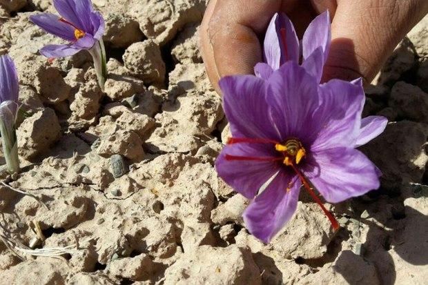 خشکسالی به زعفرانکاران خوشابی خسارت زد