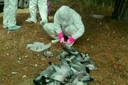 نیوکاسل کبوتری محتملترین علت مرگ و میر کبرترهای اسلام آباد غرب