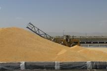 55 هزار تن گندم در روانسر برداشت می شود