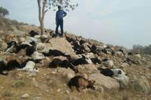 87 گوسفند در روستای فوسک کرمان تلف شد