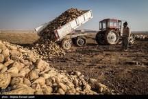 کشت چغندرقند در ۳ هزار هکتار از اراضی نهاوند