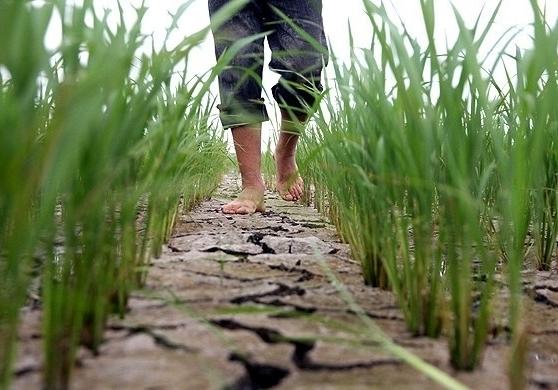 خداحافظی شرق مازندران با کشت برنج