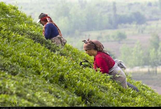 36 هزار تن برگ سبز چای از چایکاران خریداری شد