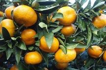 هفت هزار تن مرکبات از باغات کرمانشاه تولید می شود