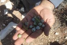طرح جمع آوری میوه ارس برای جوانه دار کردن بذر در استهبان آغاز شد