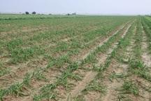 بارندگی به سه هزار و 600 هکتار زمین کشاورزی اندیمشک خسارت زد