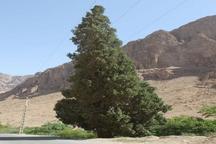درخت سرو روستای شادکام بافق ثبت ملی شد