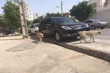 جمعآوری سگهای بی صاحب شهر بوشهر آغاز شد