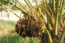احتمال بروز تنش در محصولات کشاورزی استان بوشهر به دلیل افزایش دما و رطوبت