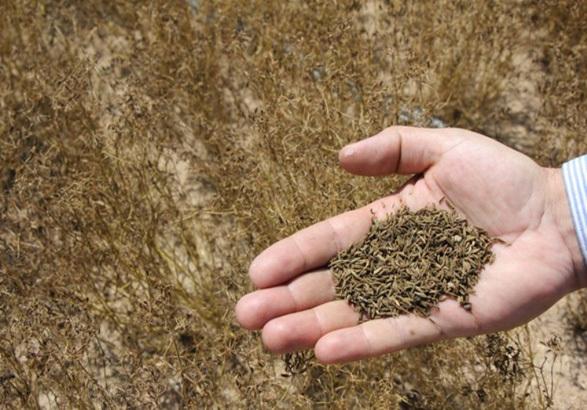 کاشت و برداشت 100 هکتار زیره سبز در ابهر