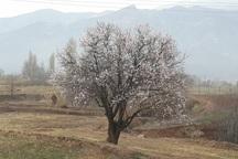 چند درخت در منطقه رازمیان قزوین شکوفه زدند