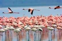 10 هزار فلامینگو با وجود شرایط مناسب در دریاچه ارومیه ماندگار شدند