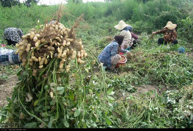 رقمهای بادام زمینی بهتر در راه مزارع گیلان است