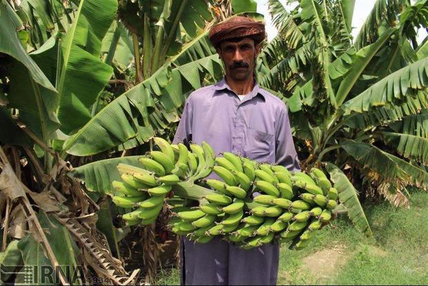 کنارک قطب تولید محصولات گرمسیری سیستان و بلوچستان