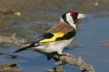 15 قطعه پرنده سهره طلایی در بویراحمد کشف شد