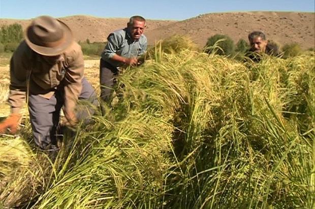 برداشت برنج در مشگین شهر آغاز شد