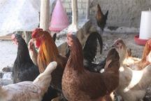 تحقق اقتصاد مقاومتی با پرورش مرغ بومی