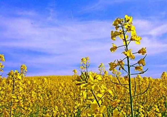 برداشت محصول بزرگترین مزرعه کلزای زنجان در خرمدره