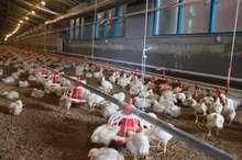 مدیرکل دامپزشکی: 30 درصد مرغداری های آذربایجان شرقی غیرمجازند
