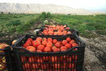 گوجه فرنگی از کشاورزان قزوینی به شکل توافقی خریداری میشود