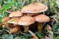 18 ماهنشانی بر اثر مصرق قارچ سمی مسموم شدند