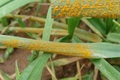 افت زنگ زرد به مزارع گندم مناطق گرمسیری استان نفوذ کرد