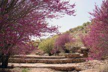 دره ارغوان، تصویری از زیبایی چشم نواز طبیعت در ایلام