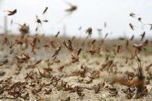 مبارزه با ملخ صحرایی در شهرستان کنارک آغاز شد