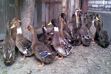 2500 قطعه اردک غیرمجاز در آبیک کشف شد