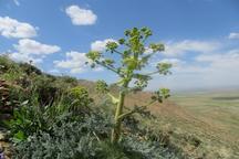 17393 کیلوگرم گیاه دارویی در استان مرکزی تولید شد