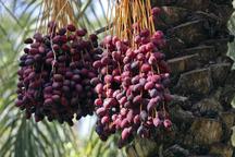 امسال 230 هزار تن خرما در سیستان و بلوچستان برداشت شد