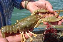 صادرات 25 تنی شاه میگو از دریاچه سد ارس پلدشت به کشورهای اروپایی