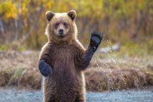 خرسهای گلستان زرشک و تمشک ندارند
