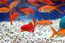 رها سازی ماهی قرمز در منابع آبی و رودخانه تهدیدی برای تنوع زیستی است