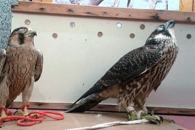 شکارچی متخلف پرندگان در بیله سوار دستگیر شد