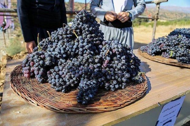۲۷ هزار تن انگور سیاه از تاکستانهای سردشت برداشت میشود