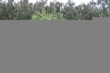 11 هزار هکتار باغات پسته رفسنجان به آبیاری قطره ای تجهیز شد