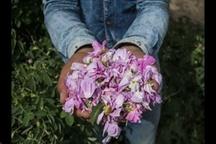 برداشت ۲۰۰ تن گل محمدی در آذربایجان غربی
