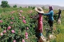 افزایش عرصه کشت گل محمدی در گناباد  ضرورت ایجاد صنایع تبدیلی