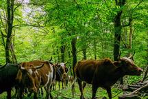 250هزار هکتار از جنگل های مازندران با خروج دام آزاد شد
