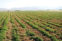 مطالعات کشت گیاهان دارویی در مناطق عشایری شیروان انجام شد