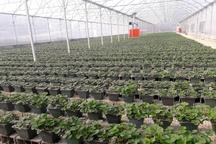 افتتاح گلخانه توت فرنگی با ظرفیت 20 تن تولید در ساری