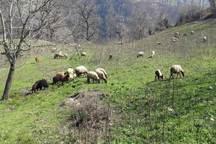 200 گله گوسفند از مراتع ساوه خارج شدند